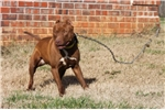 Picture of AMERICAN PIT BULL TERRIER MALE FOR SALE