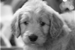 Picture of Beauty the Goldendoodle