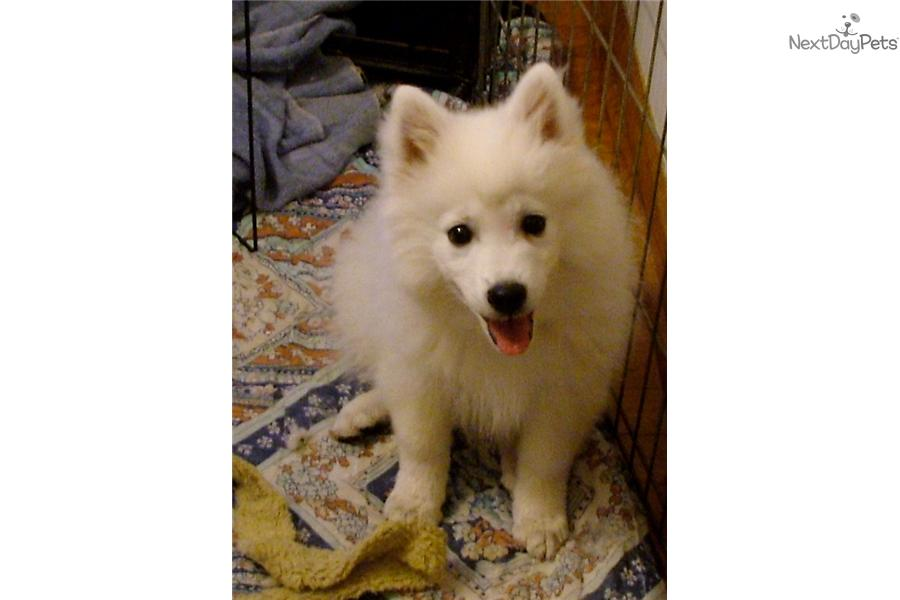 Picture of a Japanese Spitz