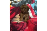 Coco | Puppy at 9 weeks of age for sale