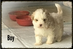 Picture of Female lhasapoo