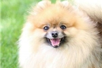 Picture of Chanel, AKC SHOW CHAMPION GRANDSIRED