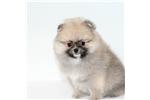 Picture of Prada, AKC SHOW CHAMPION GRANDSIRED