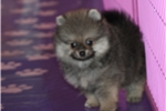 Picture of AKC Ch Sired Lady