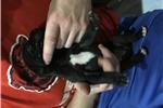 Picture of AKC male black