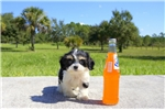 Picture of Meet Loui Queen the Cavachon for sale in Florida!