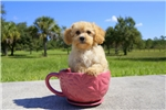 Picture of Regal is the Cavapoo puppy for sale in Florida!