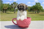 Picture of Meet Bear-Bear the Havanese Puppy!