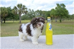 Picture of Meet Timberland the Havanese puppy for sale!