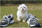 Picture of Meet Charlotte the Maltese for sale in Florida!