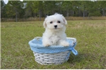 Picture of Meet Sugar the Maltese for sale in Florida!