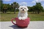 Picture of Meet Noah the Maltese Puppy for sale in Florida!