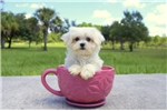 Picture of Meet Paris the Maltese Puppy for sale in Florida!