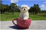 Picture of Meet Ascot the Maltese for sale in Florida!