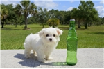 Picture of Charlotte the Maltese for sale in Florida!