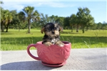 Picture of Brody is the Shorkie for sale in Florida!