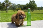 Picture of Shorkie named Brownstone for sale in Florida!