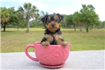 Picture of Meet Finn the Yorkie for sale in Florida!