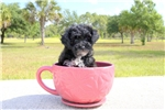 Picture of Meet Roshell the Yorkie poo for sale in Florida!