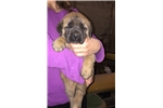 AKC Champion bloodline English Mastiff puppy  | Puppy at 10 weeks of age for sale