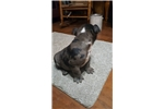 Picture of Seal Merle Female