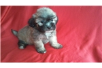Maltese/ Shih tzu mix | Puppy at 9 weeks of age for sale