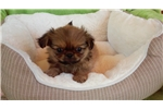 Picture of Cute Pekingese Male