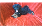 Picture of Female Poodle