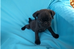 Picture of Tea Cup Pug Male