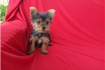 Picture of Tea Cup Yorkie Puppies