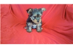 Picture of Yorkie Male