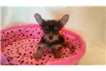 Picture of Tea Cup Yorkie Female
