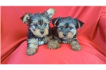 Picture of Yorkie Female
