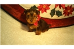 Picture of Cute Yorkie Male