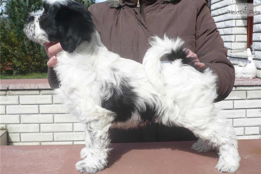 Tibetan terrier for sale for 1 400 near budapest hungary 55b5c659