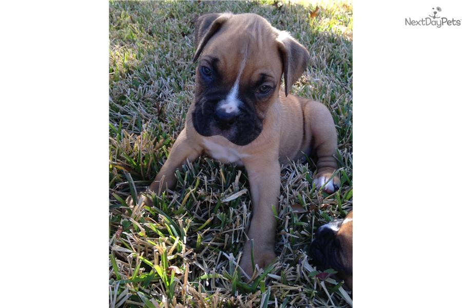 Boxer Dog For Sale In San Antonio