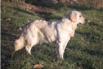 Picture of AKC Champ Sired Golden Retriever - Charmer