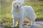 Picture of AKC Champ Sired Golden Retriever - Avatar