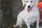 Picture of AKC Champ Sired Golden Retriever - Atticus