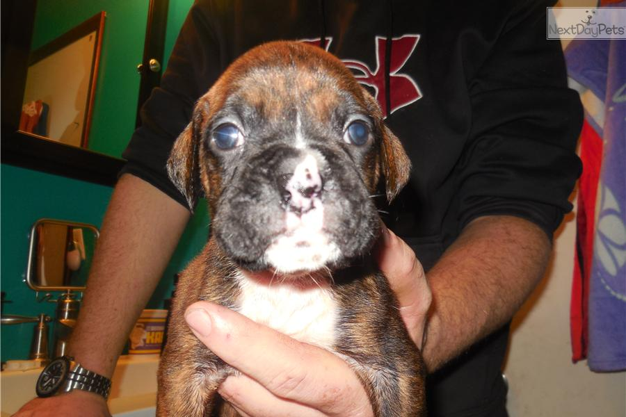 Dogs For Sale In Metro Detroit Michigan