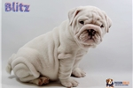 Picture of Outstanding quality bulldog puppy