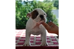 Picture of Show prospect bulldog puppy