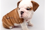 Picture of Outstanding bulldog puppy