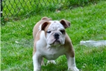 Bulldogs for sale