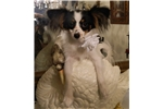 Picture of BLACK*WHITE*TAN AKC FEMALE SEE 'BEAUTY'