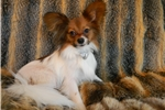 Picture of PAPILLON PUPPY AKC MALE BEAUTIFUL SABLE
