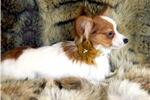 Picture of Papillon Female AKC Registered