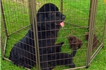 Picture of SCARLETT FEMALE NEWFIE