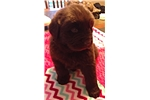 Picture of SCARLETT- AKC FEMALE NEWFIE