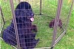 Picture of AKC NEWFIE FEMALE